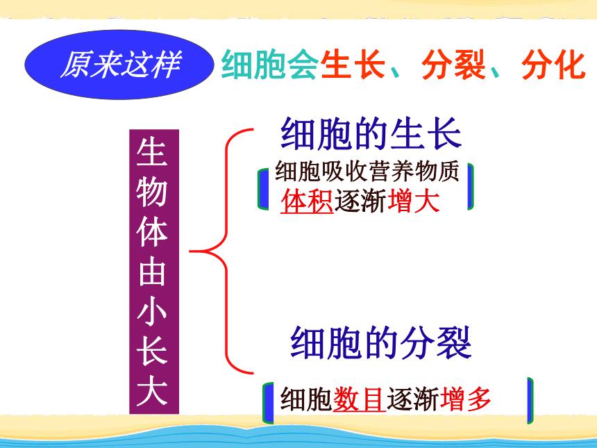 2021-2022学年人教版生物七年级上册2-2-1细胞通过分裂产生新细胞  课件(30张PPT)