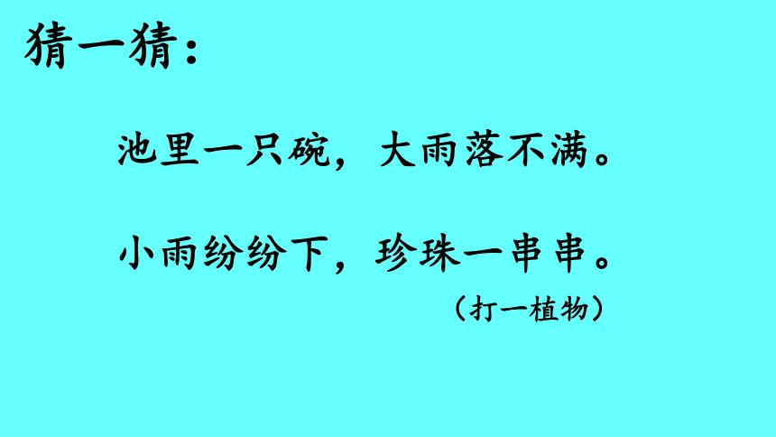 13 荷叶圆圆   课件(共26张PPT)