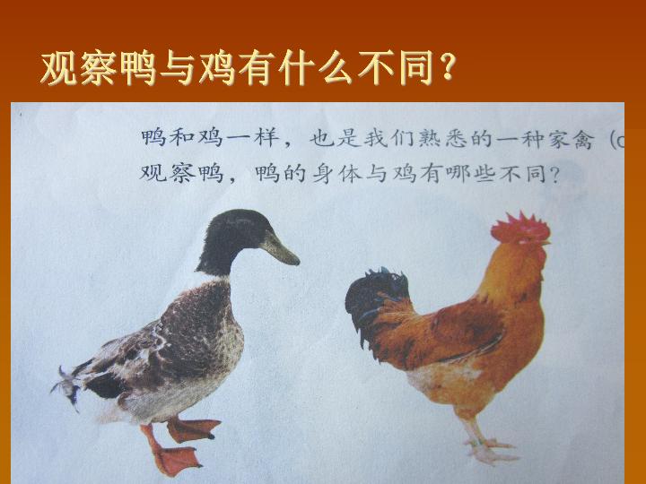 20《鸭与鸡》课件(15张PPT)