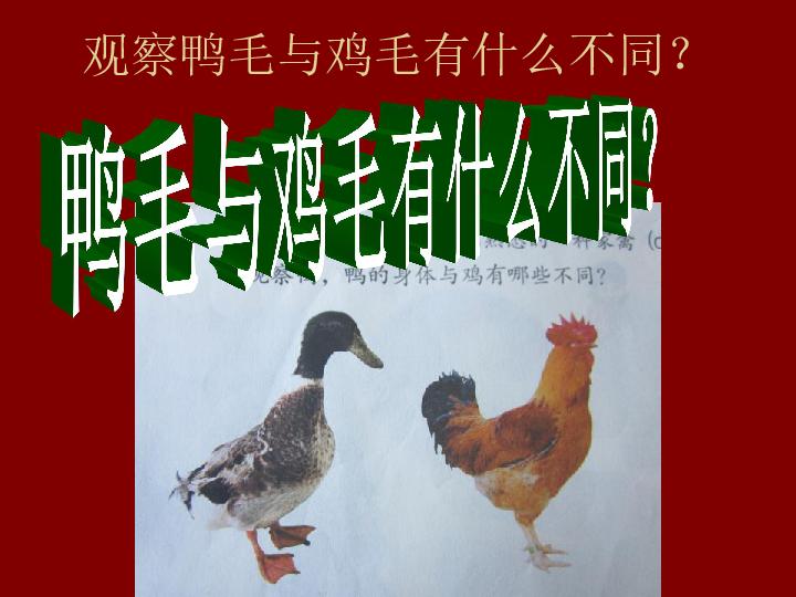 第20课《鸭与鸡》 课件(13张PPT)