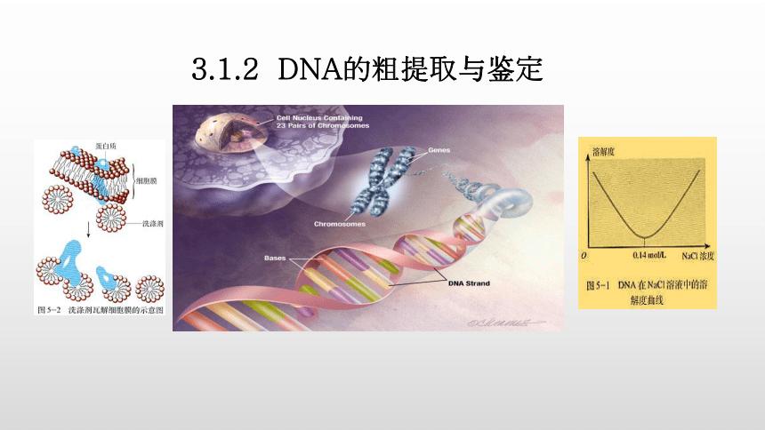 高二生物人教版(2019)选择性必修33.1.2DNA的粗提取和鉴定课件(22张ppt)