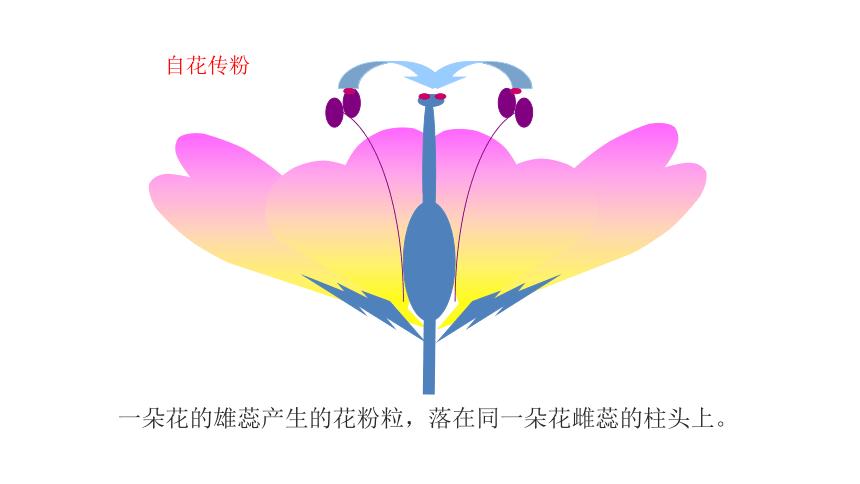 2021-2022学年初中生物人教版七年级上册 3.2.3开花和结果  课件(共23张PPT)