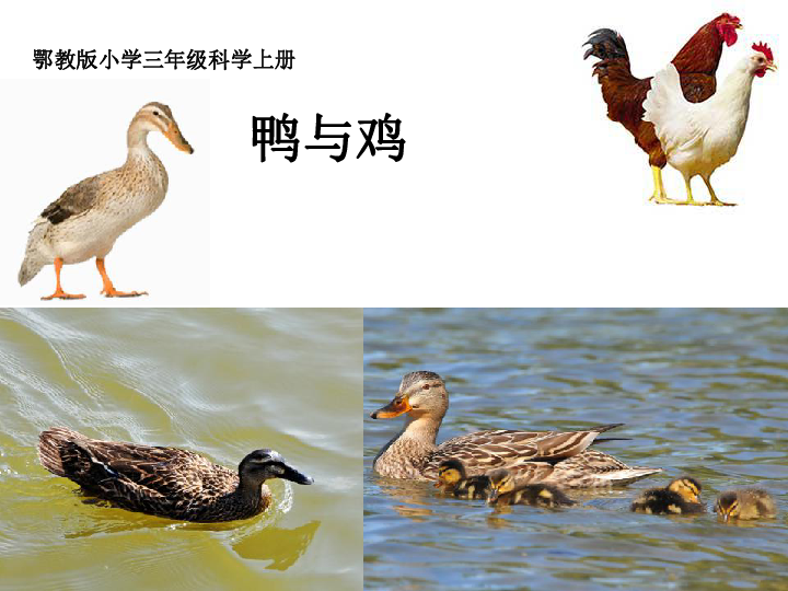20《鸭与鸡》课件(7张PPT)