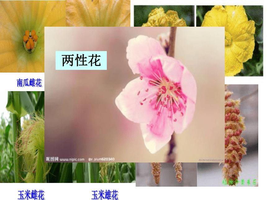 人教版七年级上册生物 3.2.3 开花和结果 课件(共26张PPT)